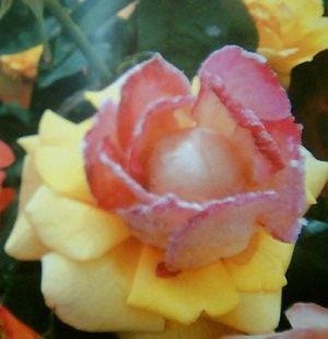cristaline de roses fraiches